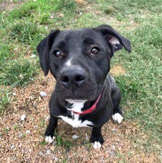Labrador Retriever Mix Dog for adoption in Clarksdale, Mississippi - Montana