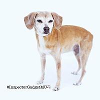 Adopt A Pet :: Inspector Gadget aka G Money - Los Angeles, CA