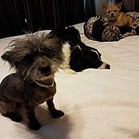 Yorkie, Yorkshire Terrier/Cairn Terrier Mix Dog for adoption in Albuquerque, New Mexico - Pebbles