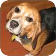 Beagle Dog for adoption in Portland, Ontario - Winston