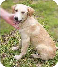 Labrador Retriever Mix Puppy for adoption in Evergreen, Colorado - Caleb
