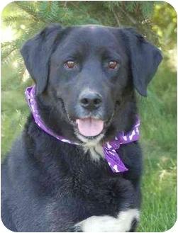 Labrador Retriever/Spaniel (Unknown Type) Mix Dog for adoption in Mora, Minnesota - Billy