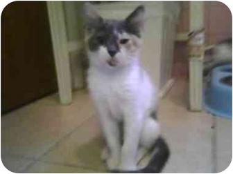 Calico Kitten for adoption in Philadelphia, Pennsylvania - Muffin