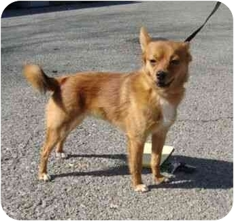 Pomeranian/Chihuahua Mix Dog for adoption in Spring Valley, New York - Roscoe (POM)