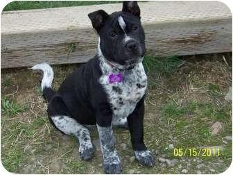 Australian Cattle Dog/Shar Pei Mix Puppy for adoption in Hayden, Idaho - Tickles