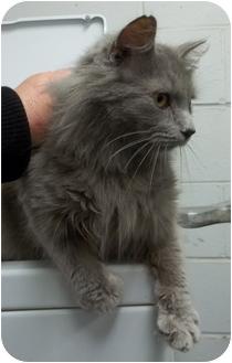 Domestic Mediumhair Cat for adoption in Gaffney, South Carolina - Dupree