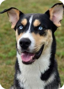 Husky Mix Dog for adoption in Schertz, Texas - Jackson