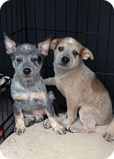 Australian Cattle Dog Puppy for adoption in Phoenix, Arizona - Ginger