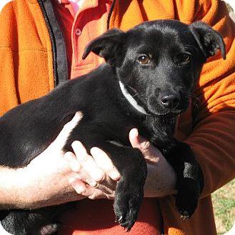 Shepherd (Unknown Type)/Retriever (Unknown Type) Mix Puppy for adoption in Newark, Delaware - Serge