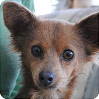 Papillon/Chihuahua Mix Dog for adoption in Weatherford, Texas - Foxy