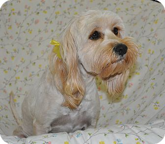 Lhasa Apso Mix Dog for adoption in Tumwater, Washington - Nilla