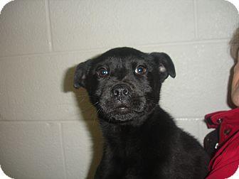 Labrador Retriever Mix Puppy for adoption in Old Bridge, New Jersey - Eric