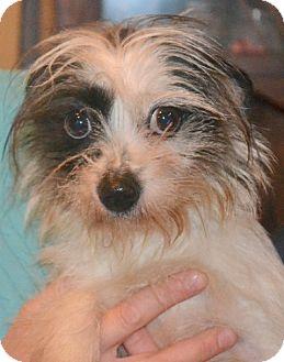 Yorkie, Yorkshire Terrier Mix Dog for adoption in Greensboro, North Carolina - Starlight