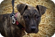 Boxer/Terrier (Unknown Type, Medium) Mix Dog for adoption in Plainfield, Illinois - Brock