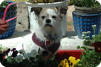 Lhasa Apso/Rat Terrier Mix Dog for adoption in Ft. Collins, Colorado - Smidgen