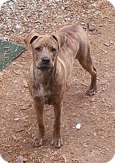 Pit Bull Terrier Dog for adoption in Russellville, Kentucky - Charlie