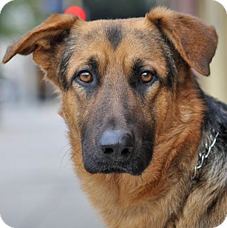 German Shepherd Dog Mix Puppy for adoption in Los Angeles, California - Kristoff von Koln