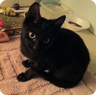 Bombay Kitten for adoption in Cocoa, Florida - Asher