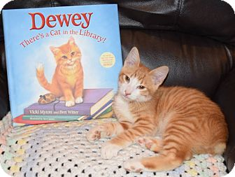 Domestic Shorthair Kitten for adoption in Chattanooga, Tennessee - Dewey