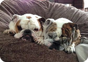 English Bulldog Dog for adoption in Columbus, Ohio - Tilly (& Abbie, a bonded pair)