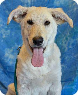 Siberian Husky/Labrador Retriever Mix Puppy for adoption in Edmonton, Alberta - Howie