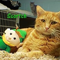 Domestic Shorthair Cat for adoption in Ocean View, New Jersey - Scorch