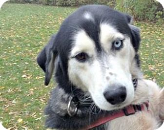 Siberian Husky Mix Dog for adoption in Mt. Pleasant, Michigan - Drake