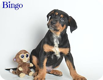 Labrador Retriever/Rottweiler Mix Puppy for adoption in Laplace, Louisiana - Bingo