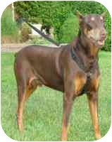 Doberman Pinscher Dog for adoption in Arlington, Virginia - Breeze