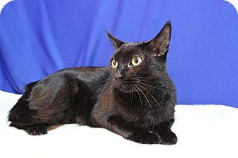 Domestic Shorthair Cat for adoption in Midland, Michigan - Glitter - NO FEE