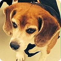 Adopt A Pet :: Chopper - Ogden, UT