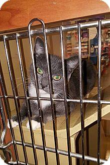 Domestic Shorthair Cat for adoption in Anoka, Minnesota - Rutabaga