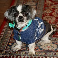 Shih Tzu Dog for adoption in Ventura, California - Curly