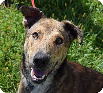 German Shepherd Dog/Greyhound Mix Dog for adoption in Lisbon, Ohio - Buddy Collins- URGENT