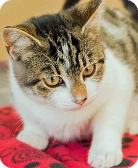 Domestic Shorthair Kitten for adoption in Gahanna, Ohio - Topaz