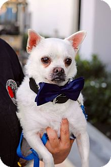 Chihuahua Mix Dog for adoption in South El Monte, California - Stitch