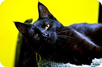 Domestic Shorthair Cat for adoption in Fort Smith, Arkansas - AJ