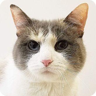 Siamese Cat for adoption in Elyria, Ohio - Gabby