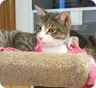 Domestic Shorthair Cat for adoption in Medina, Ohio - Socks