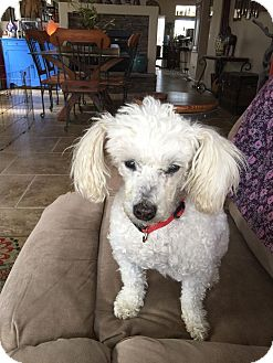 Poodle (Miniature) Mix Dog for adoption in Mesa, Arizona - JAGGER - 9 YEAR POODLE MALE