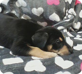 German Shepherd Dog/Blue Heeler Mix Puppy for adoption in Paris, Illinois - Mark
