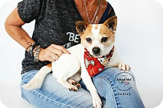 Fox Terrier (Toy)/Chihuahua Mix Dog for adoption in Sherman Oaks, California - Dudley