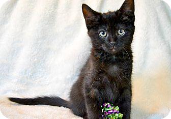 Domestic Shorthair Kitten for adoption in Cincinnati, Ohio - Bjorn