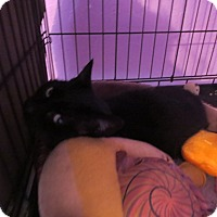 Domestic Shorthair Cat for adoption in Coos Bay, Oregon - Bones
