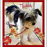 Adopt A Pet :: Rachelle - Rancho Cucamonga, CA
