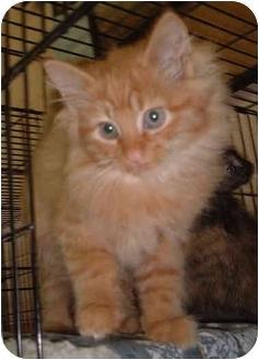 Domestic Longhair Kitten for adoption in Honesdale, Pennsylvania - Shanghai