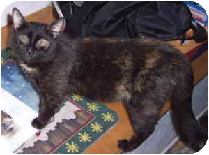 Domestic Shorthair Cat for adoption in North Highlands, California - Weezie