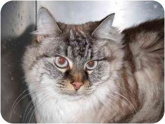 Domestic Mediumhair Cat for adoption in El Cajon, California - Sasha