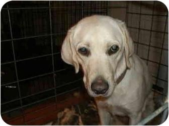 Labrador Retriever Dog for adoption in Howell, Michigan - Hope