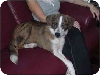 Australian Shepherd/Collie Mix Dog for adoption in Largo, Florida - Katie